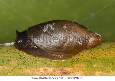 Marsh Snail Stock Photos, Royalty.