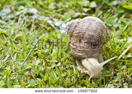 "terrestrial Pulmonate Gastropod Molluscs"" Stock Photos, Royalty."