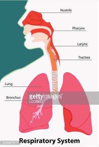 Anatomy of The Respiratory System Terrestrial Vertebrates stock.