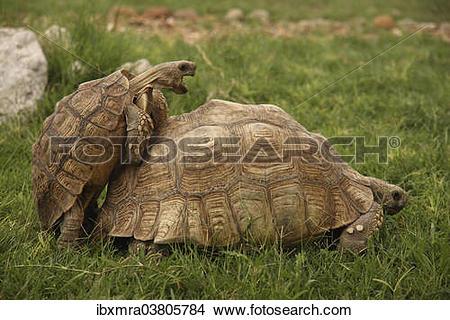 """Stock Photo of """"Turtles (Testudinata) mating, Gobabis, Namibia."""
