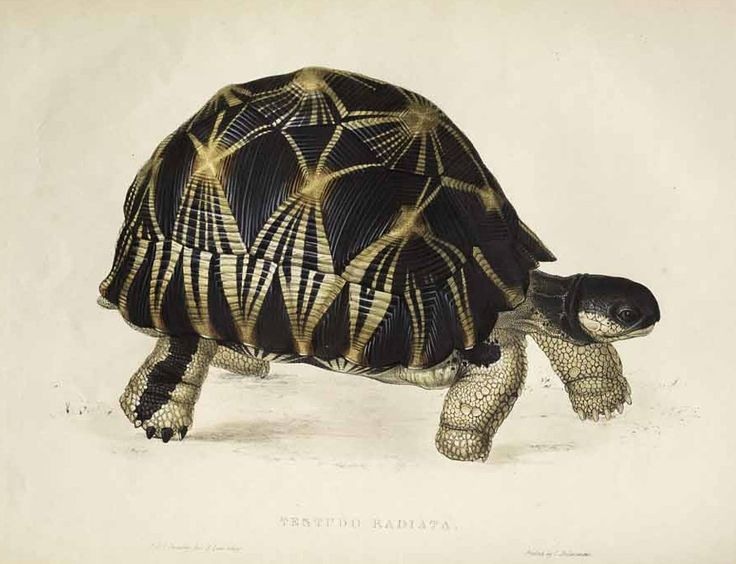 1000+ images about Torts and turtles on Pinterest.