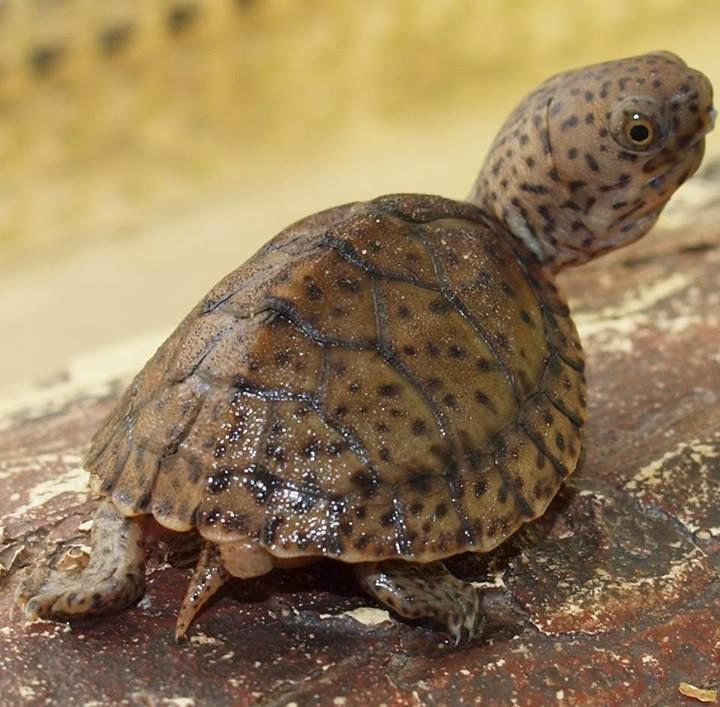 1000+ images about Chelonia tortuga on Pinterest.