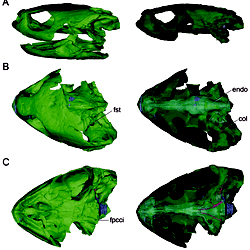 Neuroanatomy of the Marine Jurassic Turtle <i>Plesiochelys.