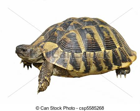 Testudinidae Stock Photos and Images. 200 Testudinidae pictures.