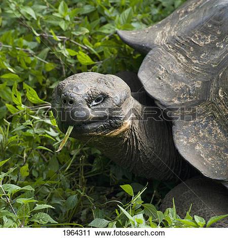 Stock Photography of giant tortoise (testudinidae); galapagos.