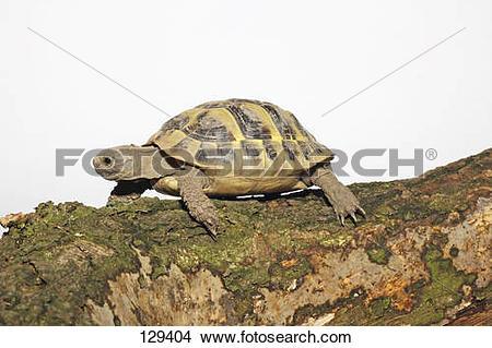 Stock Photo of Testudinidae spp 129404.