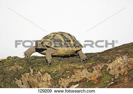 Stock Photograph of tortoise / Testudinidae spp 129209.