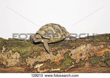 Stock Photo of tortoise / Testudinidae spp 129213.