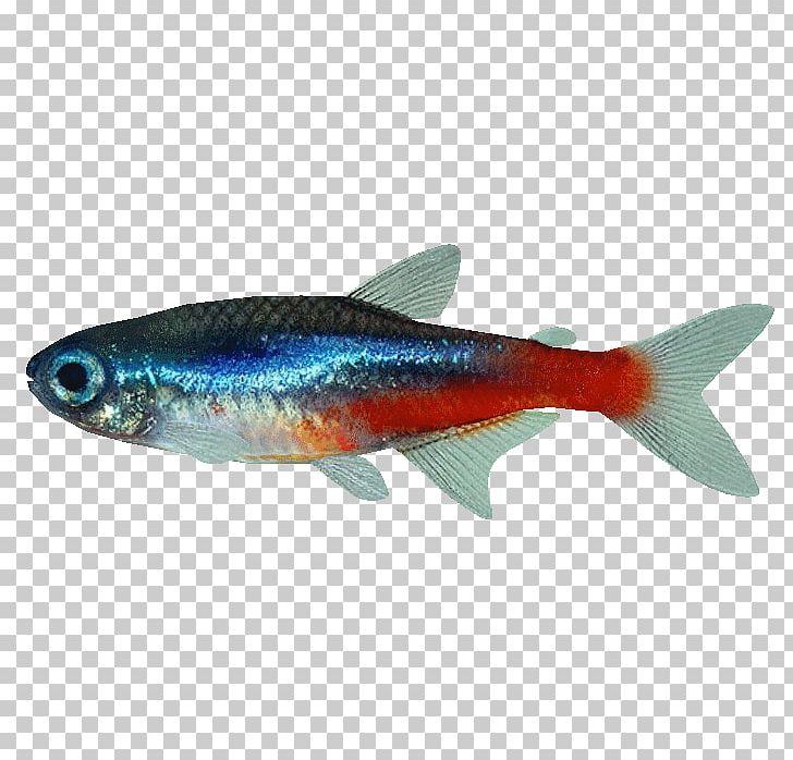 Fish Neon Tetra Mondo Cucciolo Di Dalpozzo Alessandra.