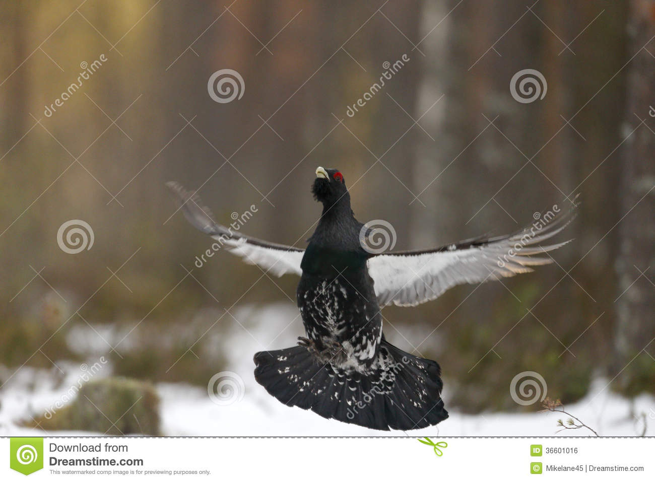 Capercaillie, Tetrao Urogallus Royalty Free Stock Image.