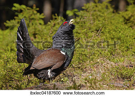 Stock Photography of Western Capercaillie (Tetrao urogallus), cock.