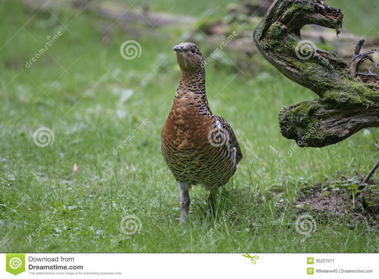 Capercaillie, Tetrao Urogallus Stock Image.