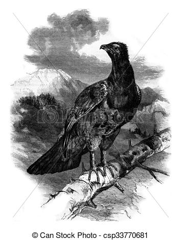 Stock Illustration of The great Woodcock Tetrao urogallus, vintage.