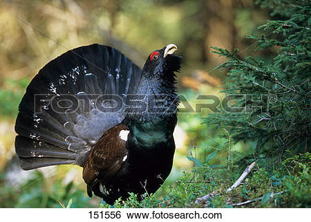 Stock Images of wood grouse (male).