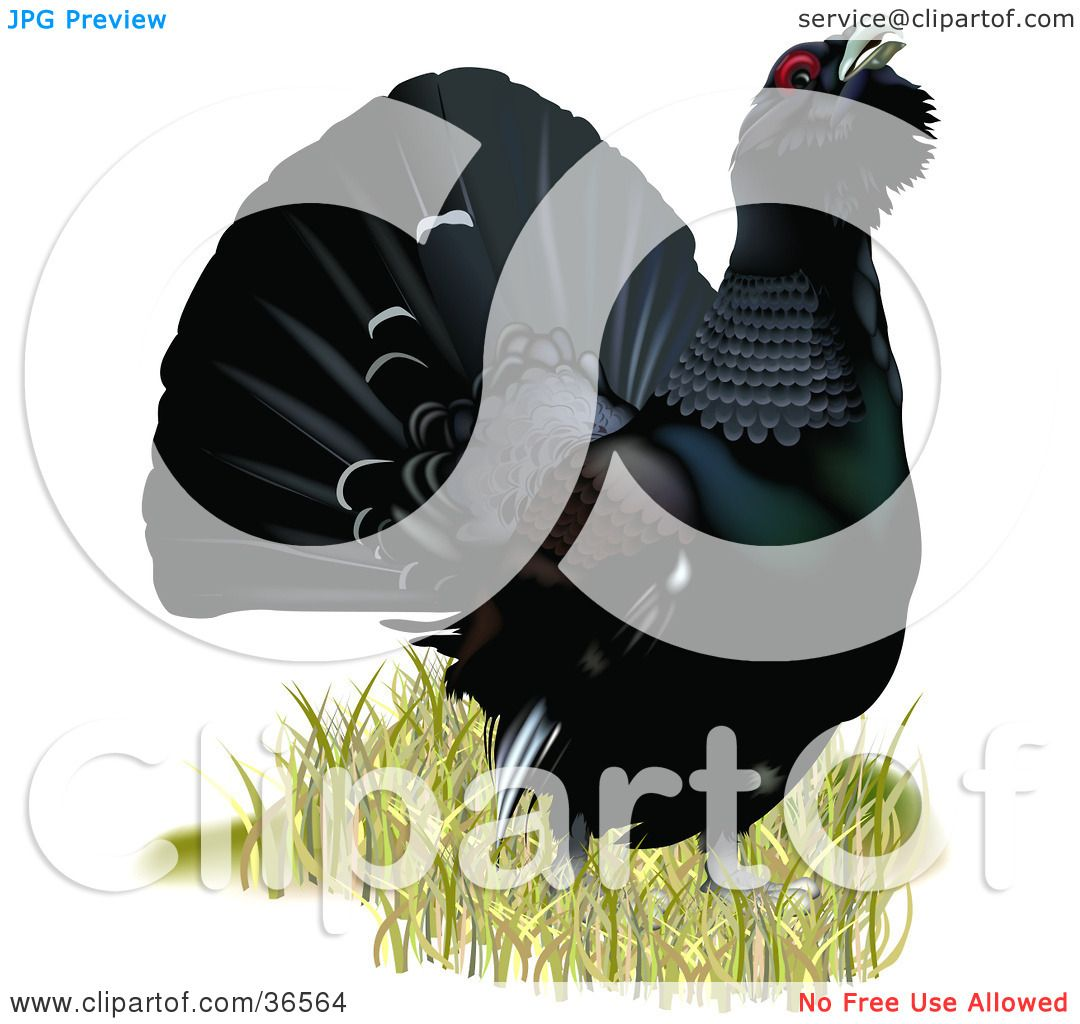Clipart Illustration of a Capercaillie, Wood Grouse, Or Western.