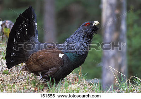 Stock Image of wood grouse (male).