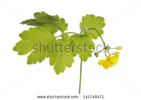White Mustard Plant Flowering Close Sinapis Stock Photo 197941571.