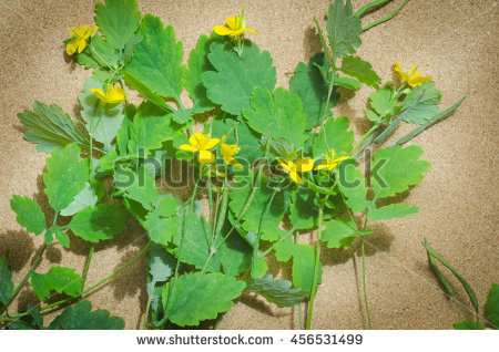 Tetterwort Stock Photos, Royalty.