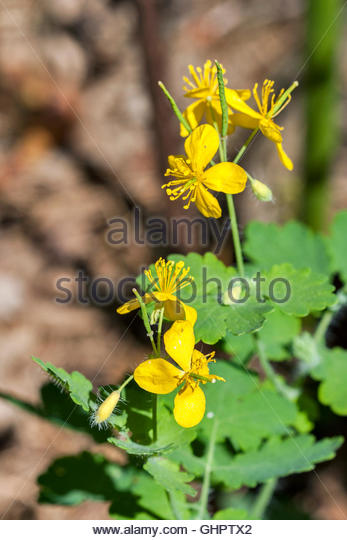 Swallowwort Stock Photos & Swallowwort Stock Images.