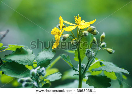 Nipplewort Stock Photos, Royalty.