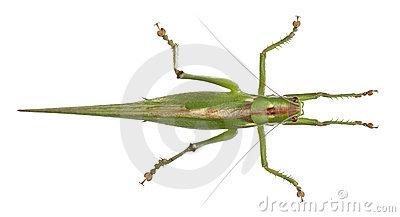 Tettigonia Viridissima, Great Green Bush.