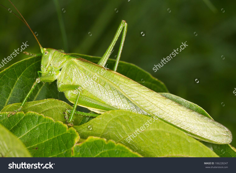 Great Green Bush Cricket On Grass Stock Photo 106228247.