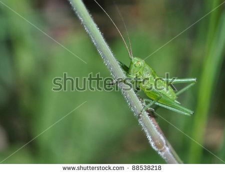Grasshopper Katydid (Tettigonia Viridissima) Stock Photo 88538218.