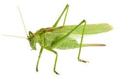 Great Green Bush Cricket Tettigonia Viridissima Stock Photos.