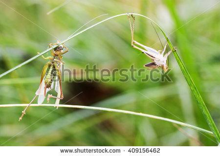 Tettigoniidae Stock Photos, Royalty.