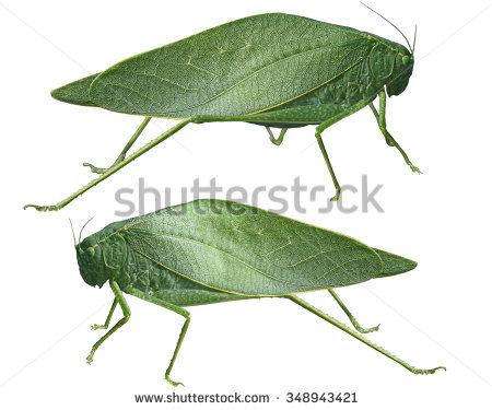 "long_horned_grasshopper"" Stock Photos, Royalty."