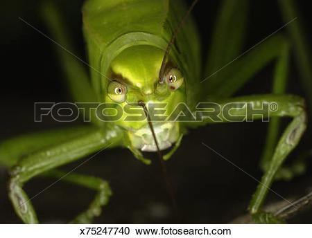 Stock Photography of Bush cricket (family Tettigoniidae), Colombia.