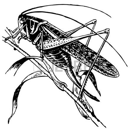 2,190 Grasshopper Stock Illustrations, Cliparts And Royalty Free.