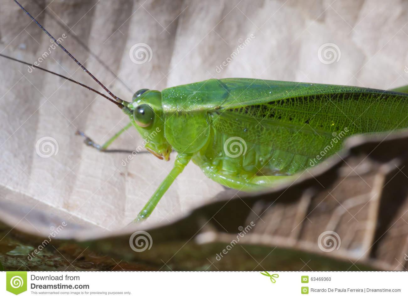 Tettigoniidae Stock Image.
