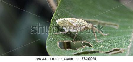 tettigoniidae.