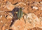 Stock Photography of grasshopper Orthopterous Tettigoniidae.