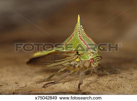 Stock Photograph of Katydid (family Tettigoniidae) on leaf.