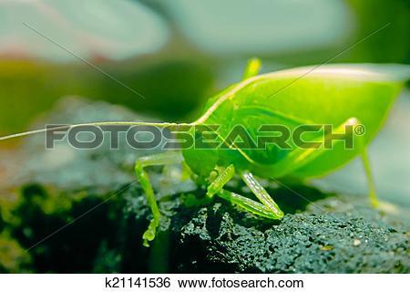 Stock Images of Tettigoniidae, katydids, bush cricket k21141536.
