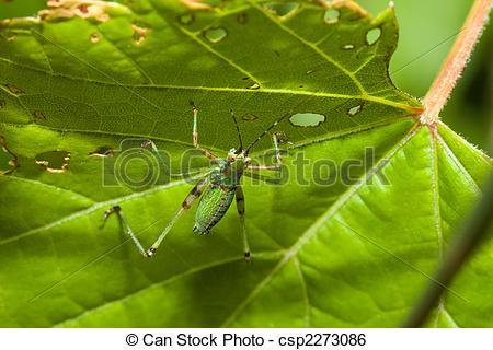 Stock Image of Bush Cricket (Tettigoniidae) crawling across a leaf.