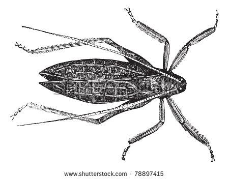 Tettigoniidae Stock Vectors & Vector Clip Art.
