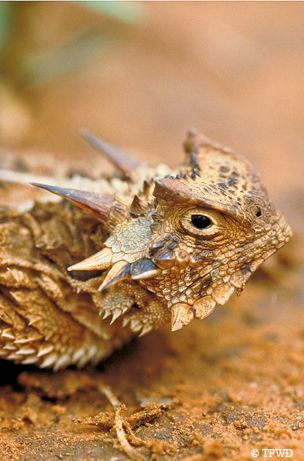 17+ ideas about Horned Lizard on Pinterest.