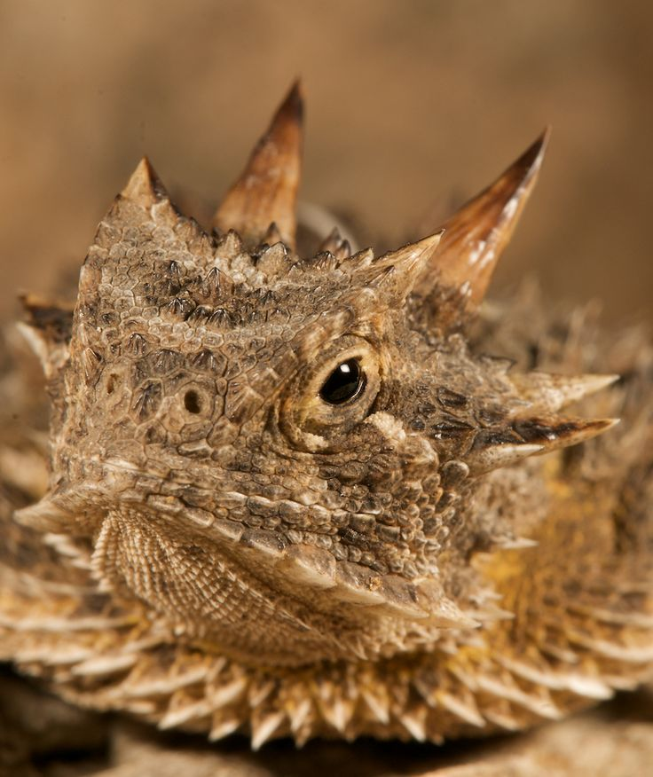 1000+ ideas about Horned Lizard on Pinterest.
