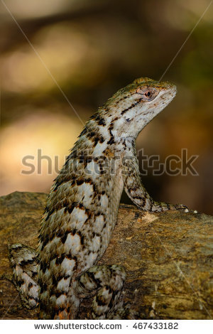 Sceloporus Stock Photos, Royalty.