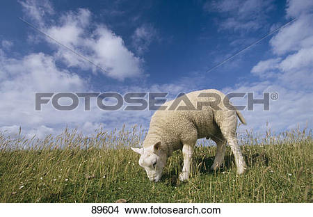 Stock Photo of Texel sheep.