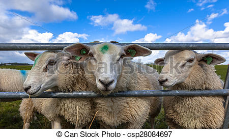 Stock Photographs of Texel sheep heads.