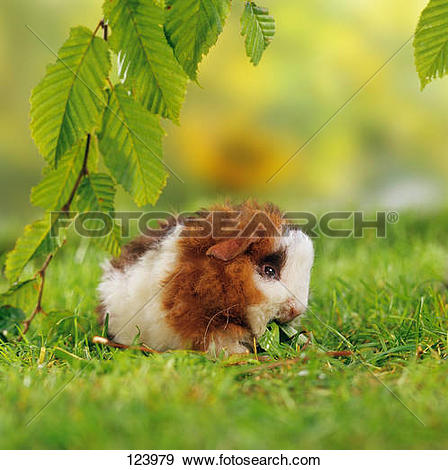 Stock Photograph of young Texel guinea pig.