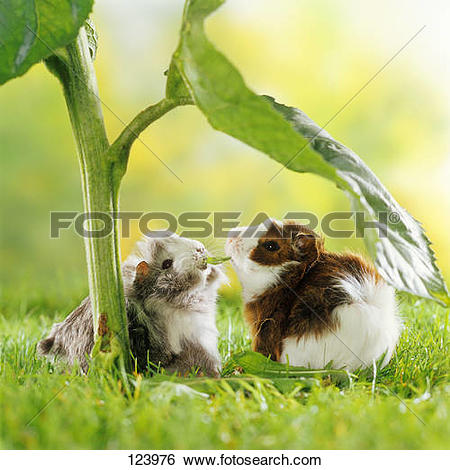 Stock Photo of Texel guinea pig.