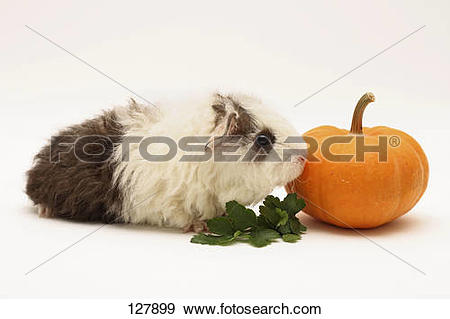 Stock Photograph of Texel guinea pig (4 weeks).