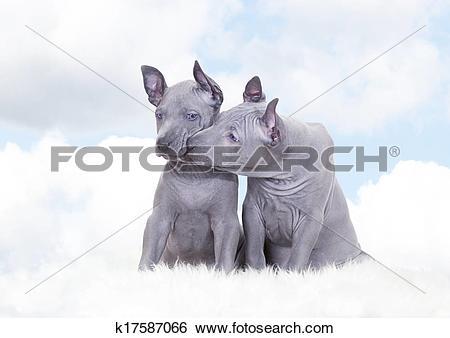 Stock Images of Thai ridgeback puppies against blue sky k17587066.