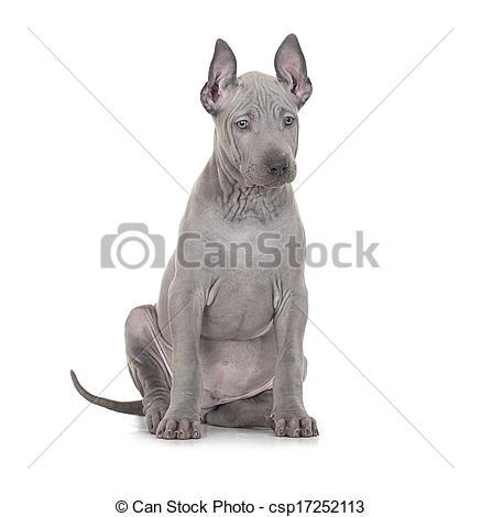 Stock Photography of Thai ridgeback puppy over white.