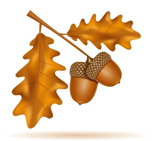 autumn oak acorns with leaves vector illustration.